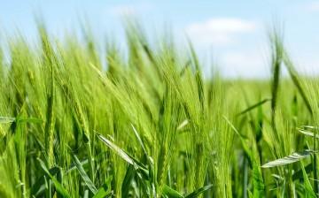 barley-872000_960_720